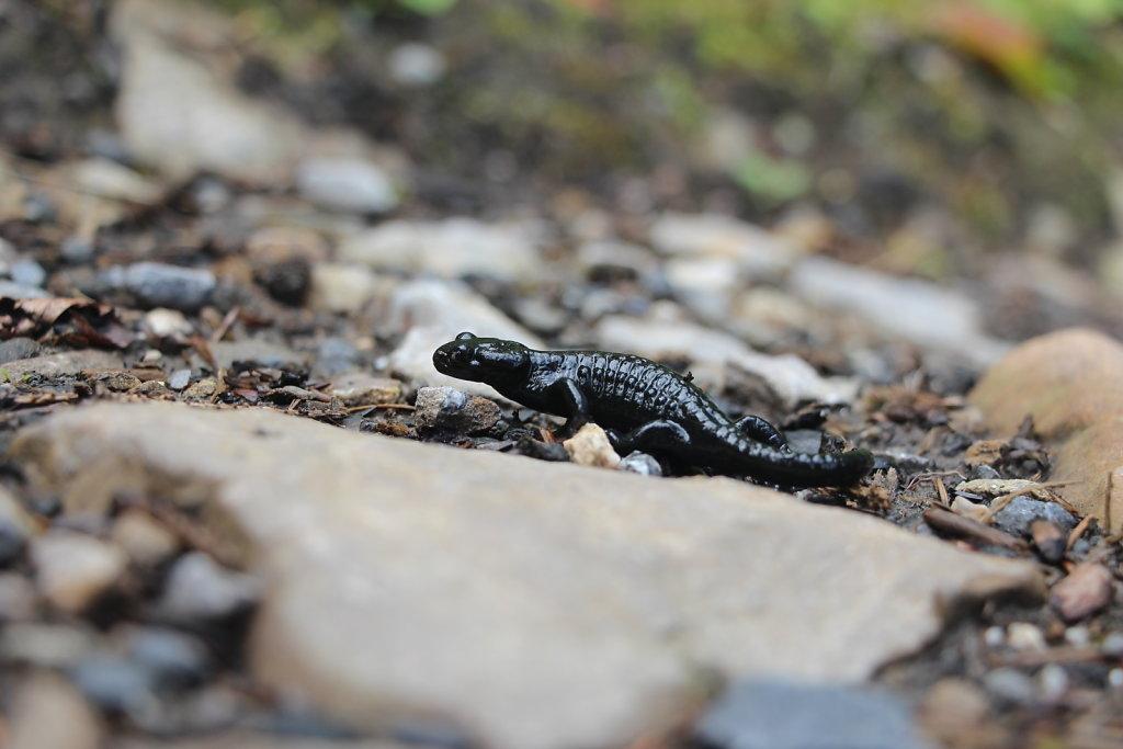 Eidechse | Lizard